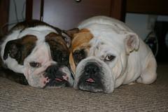 Twin Tippies (BayouBaby) Tags: friends dog love englishbulldog wrinkles bulldogs canineloveabulls