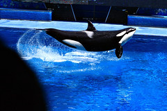 Flying Orca (BuicksRock) Tags: canon orlando orca seaworld shamu killerwhale seaworldorlando shamustadium canon70200mmf4l xti 400d