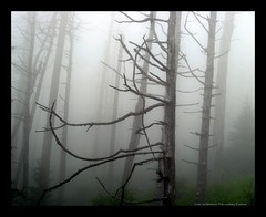 Forest in Fog 26 (Exothermic) Tags: trees usa cloud mist mountains tree nature fog america forest dark dead death nationalpark nc unitedstates tn cloudy tennessee foggy northcarolina fir gloom appalachian appalachia smokymountains clingmansdome fraserfir abiesfraseri balsamwoollyadelgid