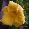 Today - Hoy (Pilar Azaña Talán ) Tags: flower fleur yellow jaune petals stamens amarillo gelb lirio lilly buds pollen blume hemerocallis corollary mywinners abigfave hemerocalle 100commentgroup thebestofmimamorsgroups pilarazaña