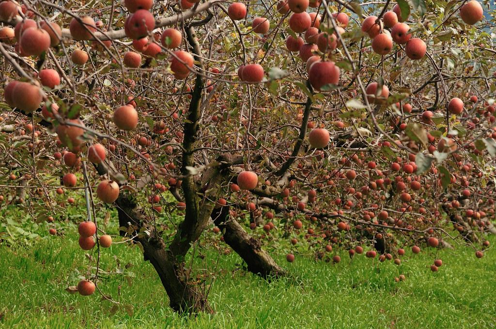 結實纍纍 蘋果樹