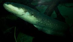 Electric eel (Electrophorus electricus) (brian.gratwicke) Tags: fish electriceel electrophoruselectricus taxonomy:binomial=electrophoruselectricus