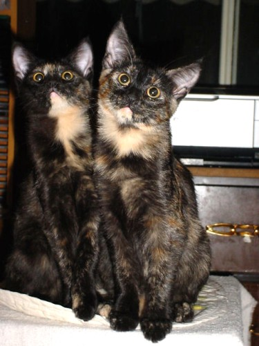 cute tortie kittens