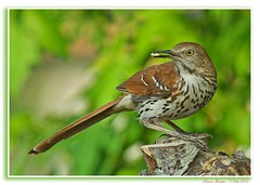 ~~Stumped~~  Brown Thrasher (Momba (Trish)) Tags: brown green bird birds interestingness nikon bravo searchthebest tennessee explore stump nikkor thrasher momba brownthrasher naturesfinest toxostomarufum 80400mmf4556dvr nikond200 magicdonkey interestingness466 i500 georgiastatebird nikonstunninggallery specanimal colorphotoaward avianexcellence explore04june2007