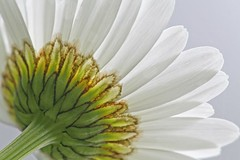 The Mighty Daisy (Peggy Collins) Tags: sky white flower macro nature closeup petals stem explore daisy wildflower onwhite excellence blueribbonwinner interestingness94 i500 fantasticflower anawesomeshot megashot natureoutpost