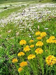 yellow flower   (smiling camel) Tags: flower nature landscape shangrila grassland promise canonpowershots1is