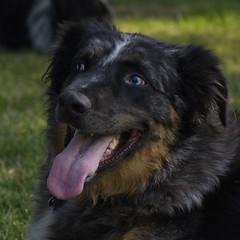 portrait dog dogs blueeyes australianshepherd