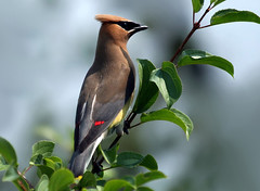 Cedar Waxwing (nature55) Tags: summer bird germantown nature outdoors searchthebest aves ornithology cedarwaxwing takeabow supershot nature55 avianexcellence wowiekazowie flickrelite 243explorepages