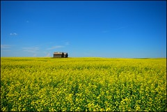 Color of the Land (A guy with A camera) Tags: sky canada field yellow rural landscape nikon searchthebest farm country alberta crop land farmer canola d80 outstandingshots mywinners abigfave colorphotoaward