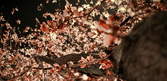 tides of the moon (vk-red) Tags: pink flower tree cherry blossom