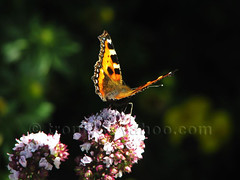 Small Tortoiseshell (Nymphalis urticae) (trondjs) Tags: flowers summer flower norway closeup canon butterfly insect interestingness dof zoom bokeh butterflies insects explore tele smalltortoiseshell srlandet shallowdepthoffield arendal shallowdof idd faveme nymphalisurticae 10faves interestingness342 i500 interestingness297 s3is neslesommerfugl trondjs favemegroup4 explore1aug2007