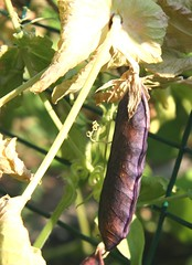 dried purple pea pod