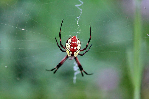 California Orb Spider