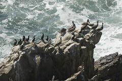 Oregon071.jpg (evanmitsui) Tags: pelicans oregon nesting archcape oswaldstatepark