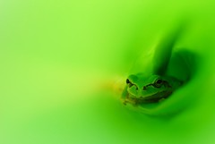 Green World (*Sakura*) Tags: iris summer macro green japan frog explore sakura  treefrog   naturesfinest abigfave infinestyle