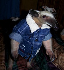 I'm a  big boy now (TamanduaGirl) Tags: boy pet animal exotic anteater tamandua 10faves
