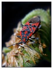 Spilostethus pandurus-02 (Xavi GM) Tags: naturaleza insectos macro nature canon insect motorcycles 5d macros soe macrophoto insecto macrophotography macrofotografia naturesfinest xafer
