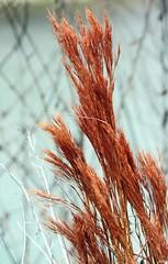 Winter grass (pearmon) Tags: red orange nature grass river weeds foliage pfogold pfosilver pfosiilver