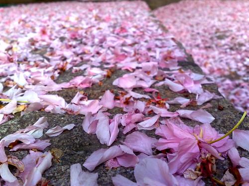 Kirschblüten auf Kopfsteinpflaster