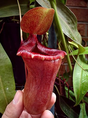 N. ventricosa (lowii x ventricosa)