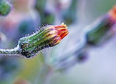 The morning of the garden (xeno(x)) Tags: flower macro green nature canon garden asia wildflower 2010 xeno 5d2