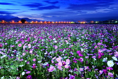 - Sea of flowers in Shinshou (prince470701) Tags: taiwan  seaofflowersinshinshou sonya850 sony1635za
