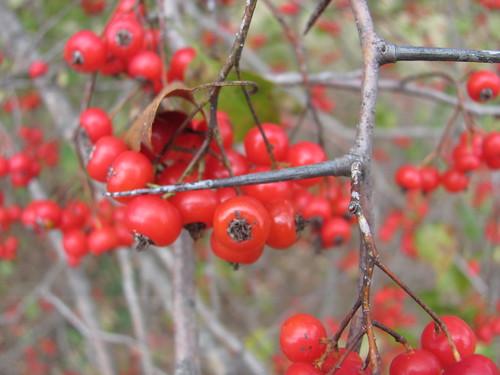 washington hawthorn tree pictures. Washington Hawthorn tree at