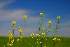 Rape Blossoms ( Spice (^_^)) Tags: camera blue vacation sky holiday flower color green art nature beautiful yellow japan clouds canon geotagged photography eos photo amazing interesting flora asia flickr image wordpress creative picture vivid blogger livejournal explore photographs photograph enjoy  5d saitama portfolio vox  dslr      soe finest  natures gettyimages facebook multiply  larawan nanohana  rapeblossom   naturesfinest canoneos5d twitter colorpicture creativeimages  colorimages impressedbeauty ultimateshot enjoyphotographs