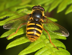 """Hoverfly (Sericomyia silentis)(3) • <a style=""""font-size:0.8em;"""" href=""""http://www.flickr.com/photos/57024565@N00/565442928/"""" target=""""_blank"""">View on Flickr</a>"""