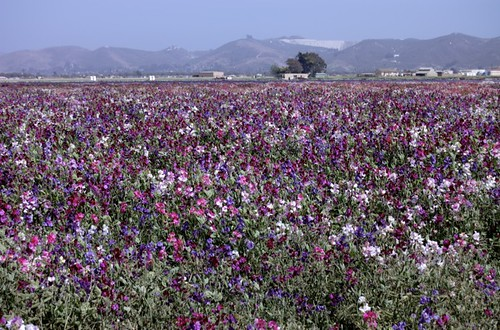 Flower fields of Lompoc
