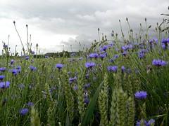 clouds and cornflowers (Mig Bardsley) Tags: flowers clouds landscape hermitage newbury cornflowers b4009