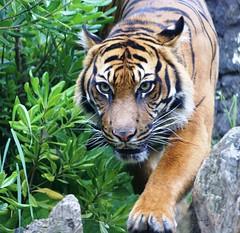 Tiger (Jolanda van Tuijl) Tags: zoo rotterdam blijdorp tiger predator tijger coolest dierentuin roofdier