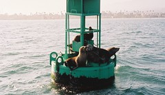 Lazy Sea Lions (The Disillusioned One) Tags: santabarbara harbor seals sealion buoy