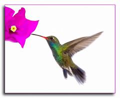 """Fucsia"" (Alfredo11) Tags: bird nature animal fly hummingbird avianexcellence"