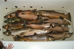 hunting and fishing 028 (Finns Rocks) Tags: fish fishing michigan trout browntrout