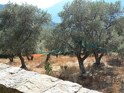 les oliviers de sainte lucie.jpg