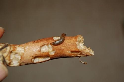 podgrzybek i ślimak