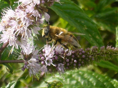 Bee on mentha flower 01