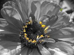 Emerging Zinnia Crown (MidiMacMan) Tags: desktop flowers wallpaper plants flower macro nature floral botanical flora colorful bright blossom background grow vivid stamens download bloom zinnia asteraceae colorcutout floweringplants daisyfamily midimacman stegeman asterfamily fauxtography angiosperms angiosperm americanartist endosperm johnathanjstegeman isawyoufirst midimacroman zinniacrown johnathanjosephstegeman johnathanstegeman familiesoffloweringplants