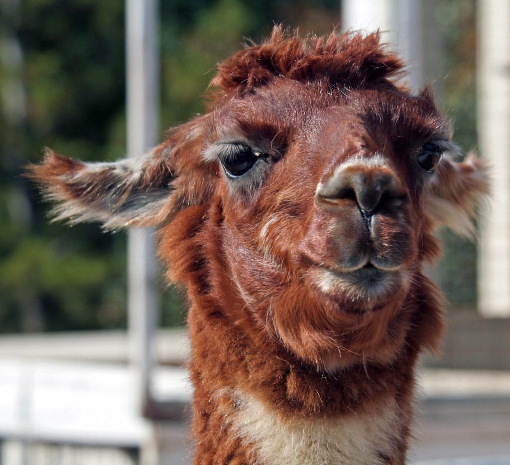 Animal Photos Llamas The Animal