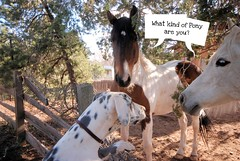Great Dane talking to horses (kristi_Nikon_D1X) Tags: horse funny greatdane caption horsetalk