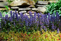 Stone wall with ajuga in bloom