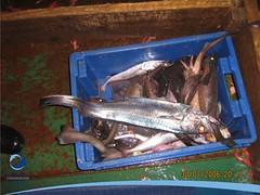 arrastre05 (Tiburones Chile) Tags: conoce pesquerias especieamenazada