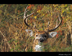 10 Points (Hamilton Images) Tags: ohio canon mammal october deer toledo 7d buck 500mm 2010 whitetaileddeer odocoileusvirginianus 10point 14xteleconverter img1049