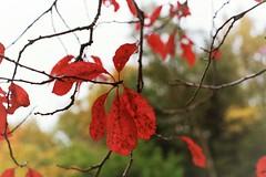 Red (dichohecho) Tags: trip trees red brown film leaves analog cherry leaf gloucestershire analogue twigs pentaxmesuper westonbirtarboretum roll22 photosoc kodakultramax400 dichohecho