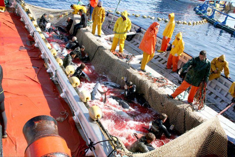 тунцы рыбаки звали всех рыб этой породы тунцами снова ушли в глубину