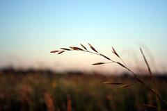 straws_01 (antonsiniorg) Tags: sunset nature straws