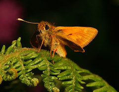 """Skipper Butterfly • <a style=""""font-size:0.8em;"""" href=""""http://www.flickr.com/photos/57024565@N00/552775642/"""" target=""""_blank"""">View on Flickr</a>"""