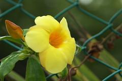c (Esparta) Tags: flowers flores flower fleur yellow reja flor amarillo acapulco blume fiore цветок mexico:state=guerrero mexico:estado=guerrero mexico:state=gro mexico:estado=gro