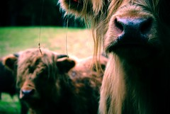 staring (alternativefocus) Tags: hairy norway cow pentax depthoffield calf staring highlandcow pentaxk10d alternativefocus